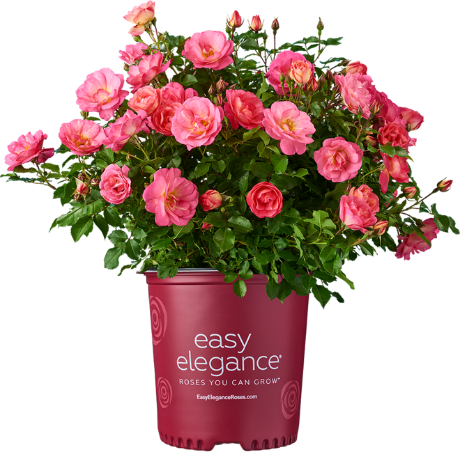Easy Elegance roses potted plant