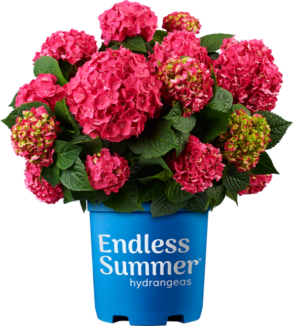 Endless Summer Summer Crush potted hydrangea