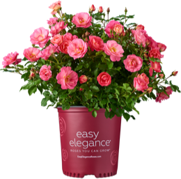 http://Sunrise%20Sunset%20Easy%20Elegance%20Rose