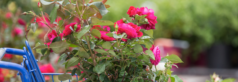 Easy elegance pink roses