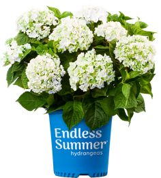 http://Endless%20Summer%20Blushing%20Bride%20potted%20white%20hydrangea