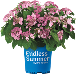 http://Endless%20Summer%20TwistNShout%20potted%20hydrangea