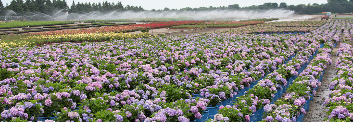field of Endless Summer hydrangeas
