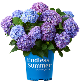 http://Endless%20Summer%20BloomStruck%20potted%20hydrangea