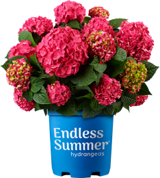 http://Endless%20Summer%20Summer%20Crush%20potted%20hydrangea