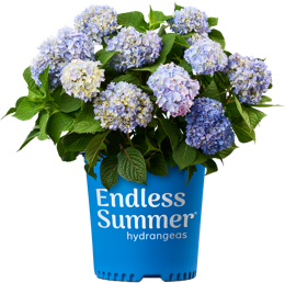 http://Endless%20Summer%20Original%20potted%20hydrangea