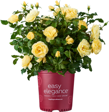 http://Easy%20Elegance%20potted%20yellow%20rose