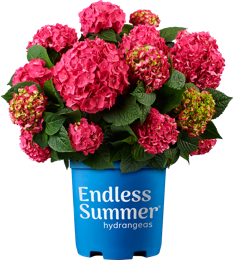 http://Endless%20Summer%20Summer%20Crush%20Hydrangea